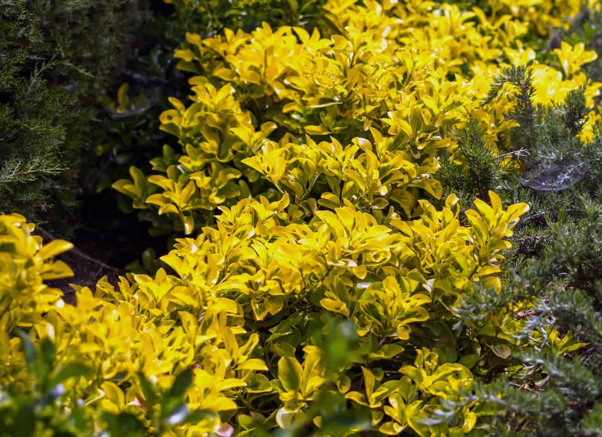 The golden euonymus has attractive leaves.