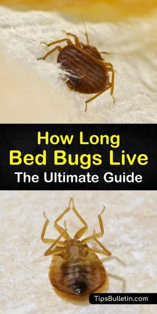 Skip the exterminator and tackle bed bug eggs, adult bed bugs, and bed bug bites like a pro. This guide shows you everything you need to know about Cimex lectularius bugs, like showing you how to eliminate a blood meal, clean bed frames, and baseboards, and use pesticides. #bedbugs #live #lifespan