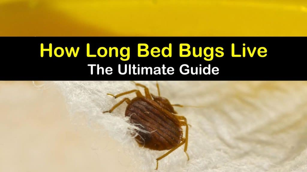 How Long do Bed Bugs Live titleimg1