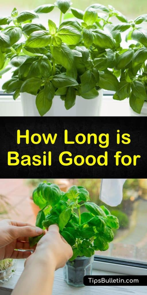 Learn how to store basil using a variety of techniques to enjoy now and later. Fresh basil leaves are great in pesto, and it's easy to keep these fresh herbs in a plastic bag in the fridge, or freeze basil in ice cube trays. #how #long #basil #good