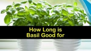 How Long is Basil Good for titleimg1