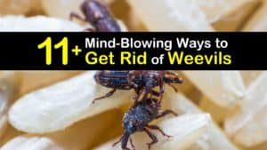 How to Get Rid of Weevils titleimg1