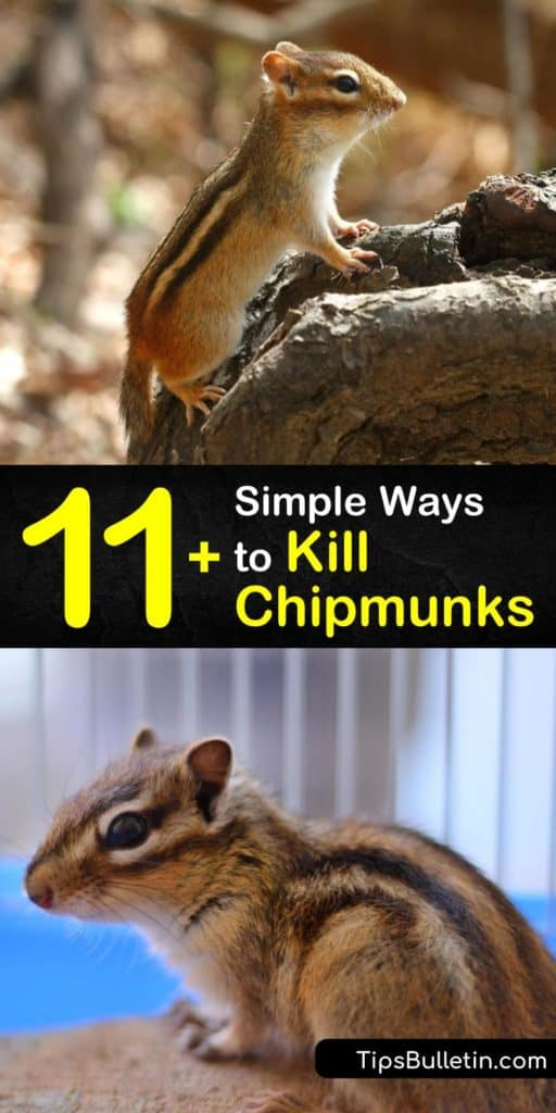 Kill chipmunks and stop a future infestation with this guide showing you how to get rid of chipmunks by luring them to snap traps with sunflower seeds, deterring them with mothballs, and making it hard to reach food by moving bird feeders. #howto #getridof #chipmunks