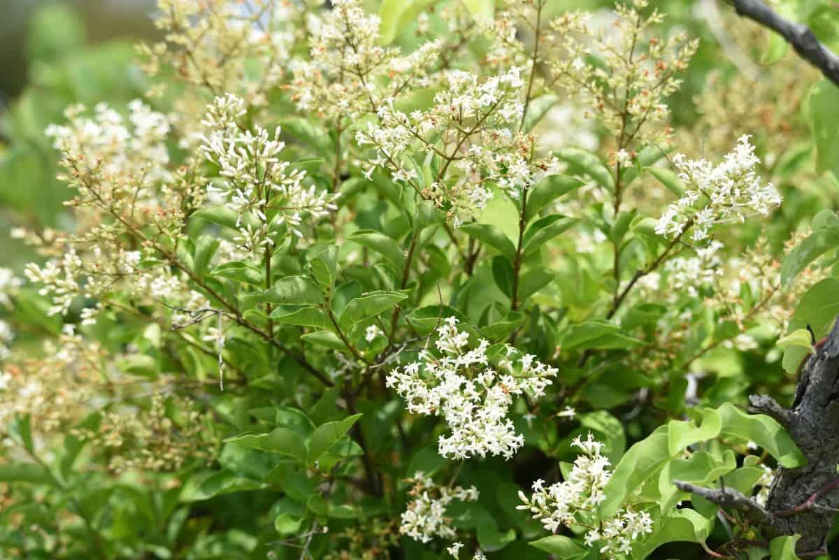 The flowers of the Japanese privet shrub smell unpleasant.