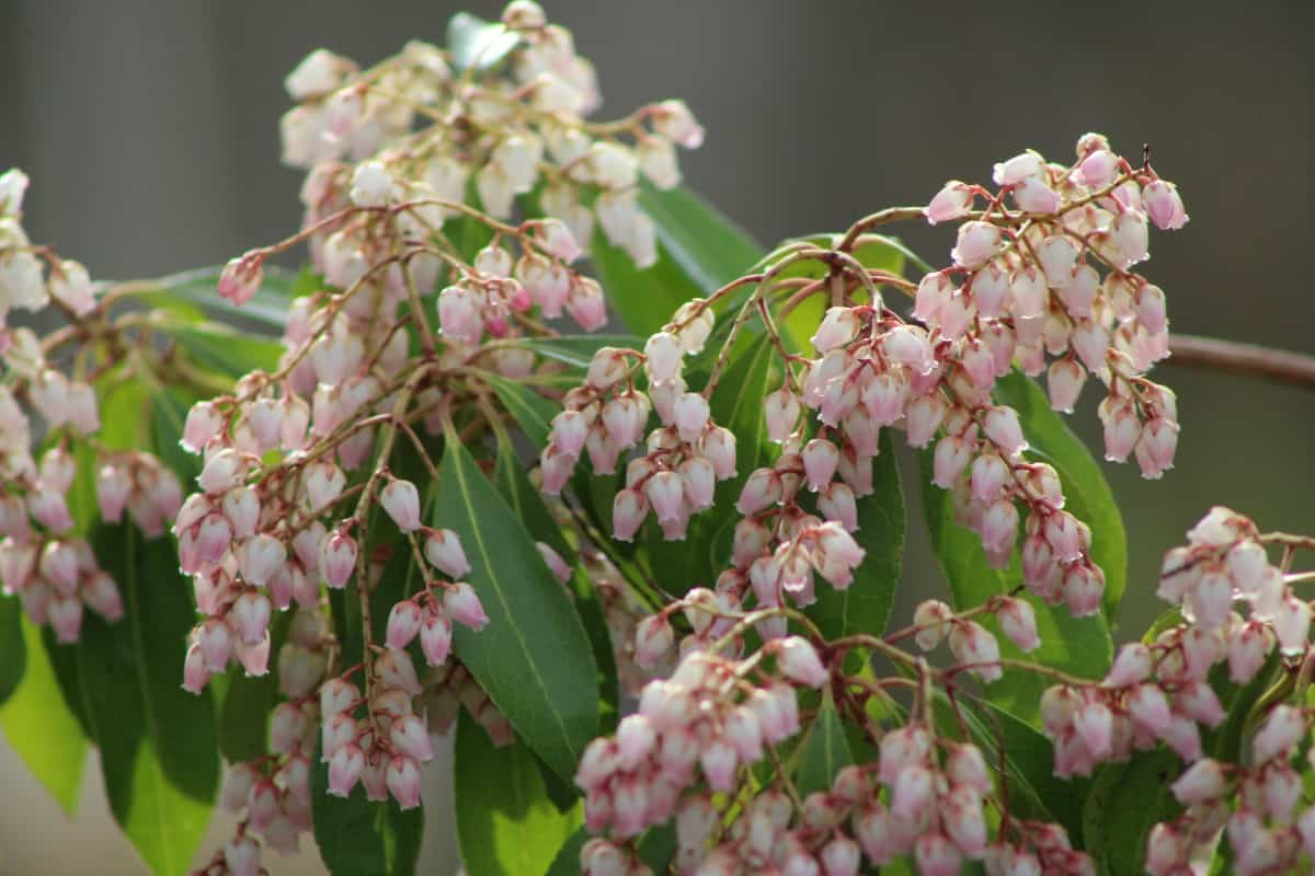 The Katsura Japanese pieris has pretty bell-like flowers.