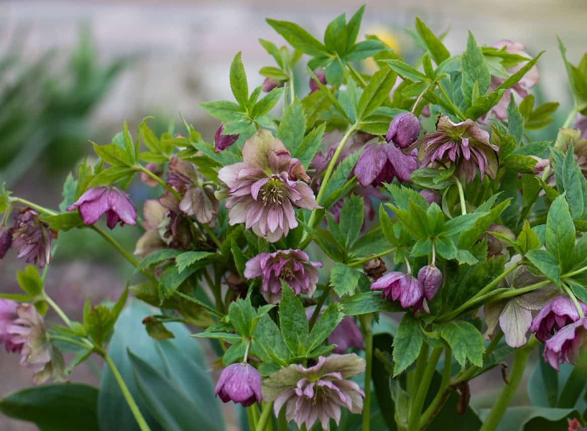 The lenten rose is not a real rose at all.