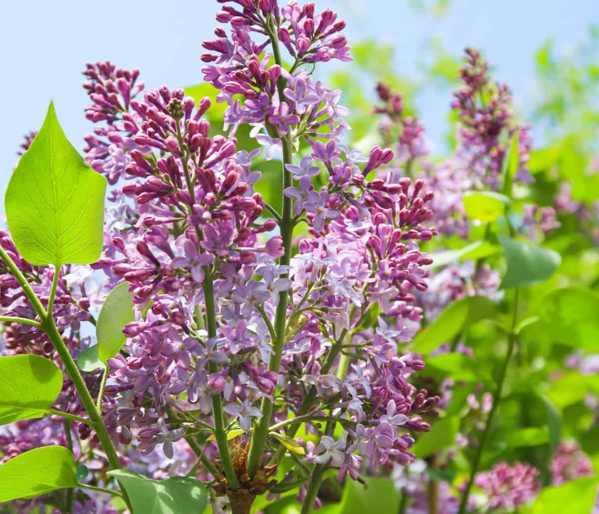 Lilacs are one of the most fragrant shrubs.