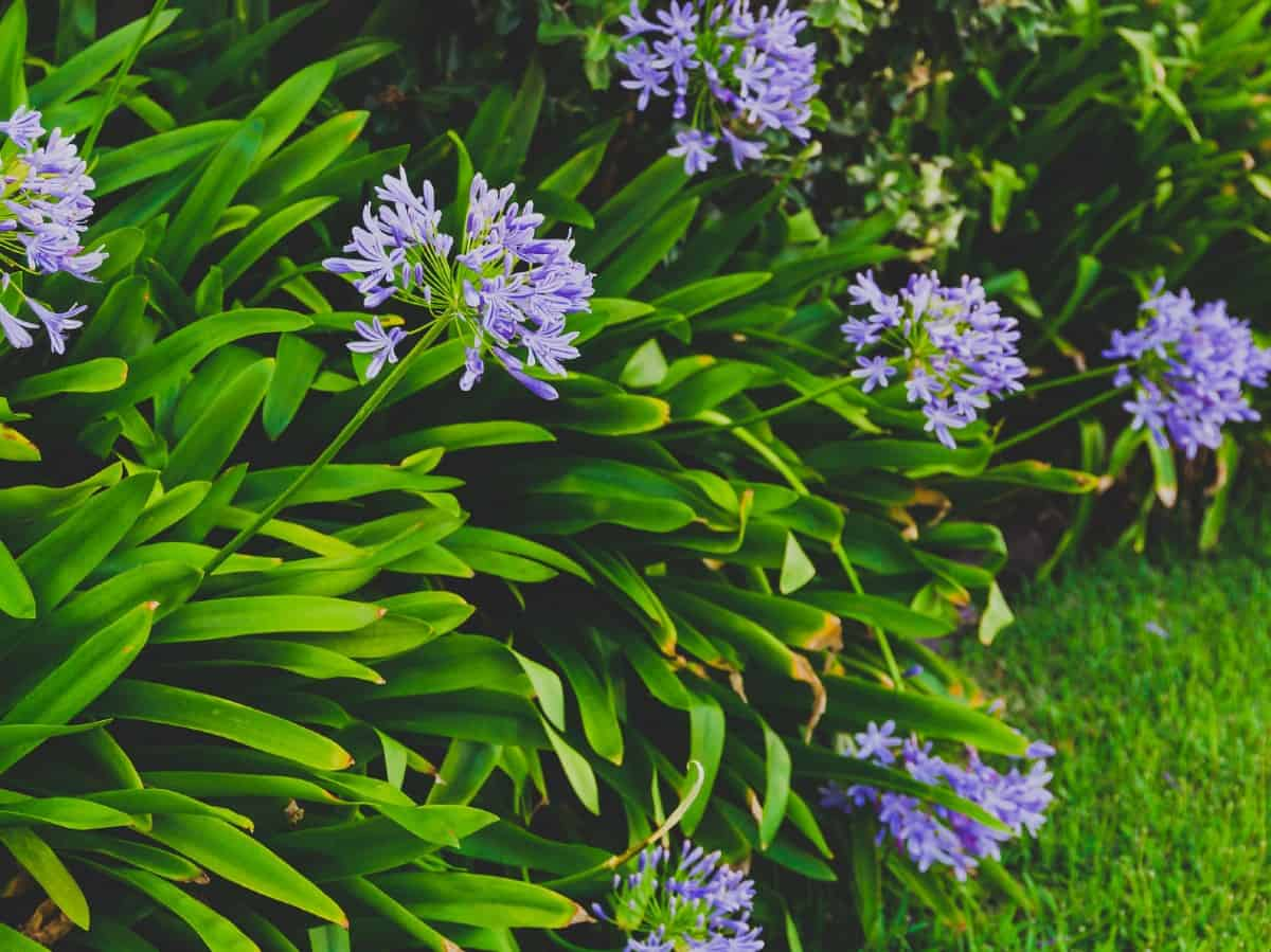 Lily of the Nile is also called the African lily.
