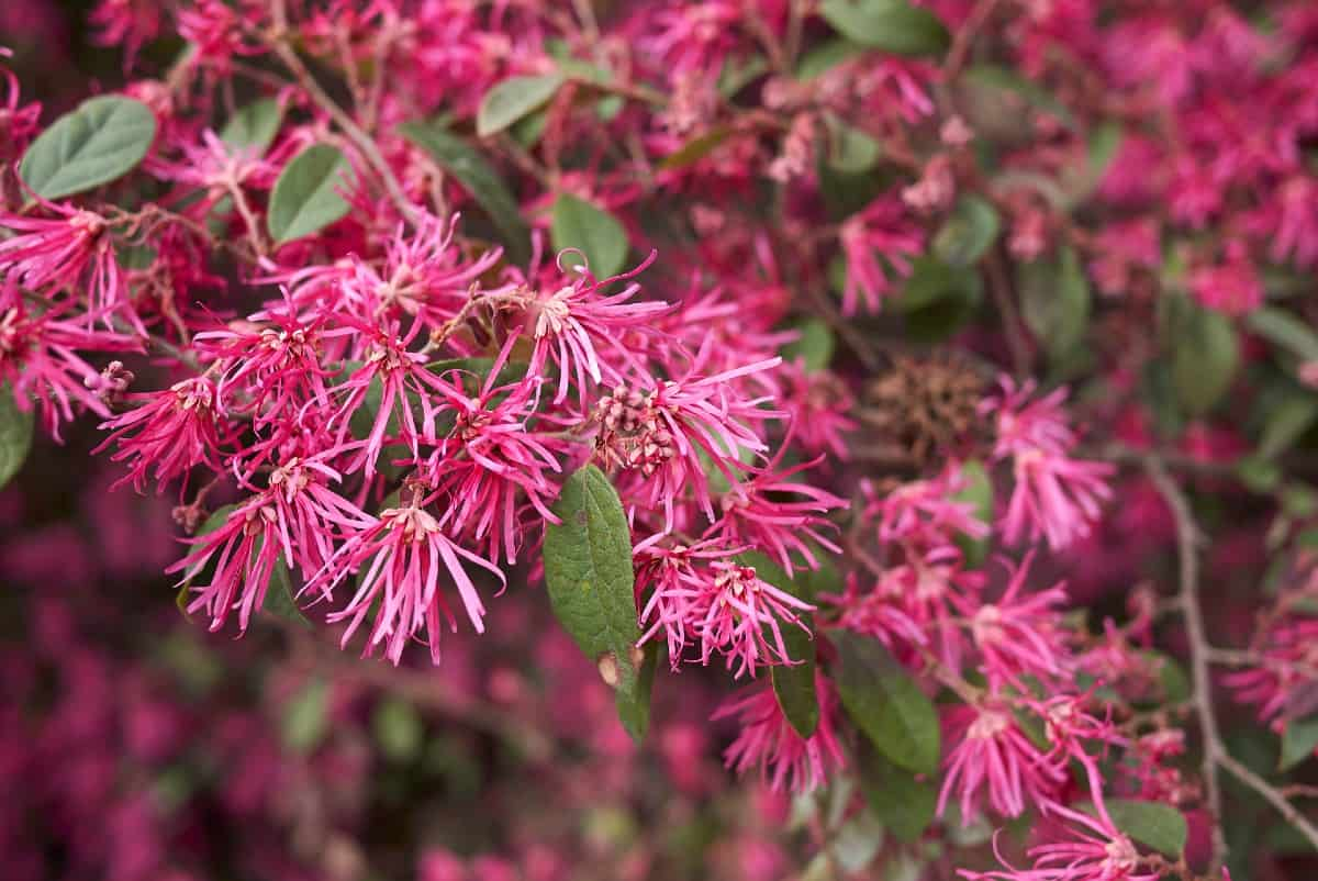 The loropetalum is also known as the Chinese fringe flower.