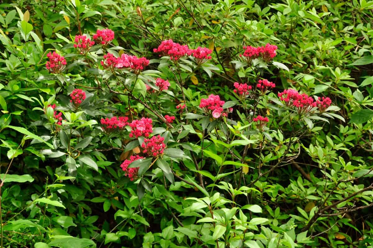 Mountain laurels are evergreen shrubs with attractive spring flowers.