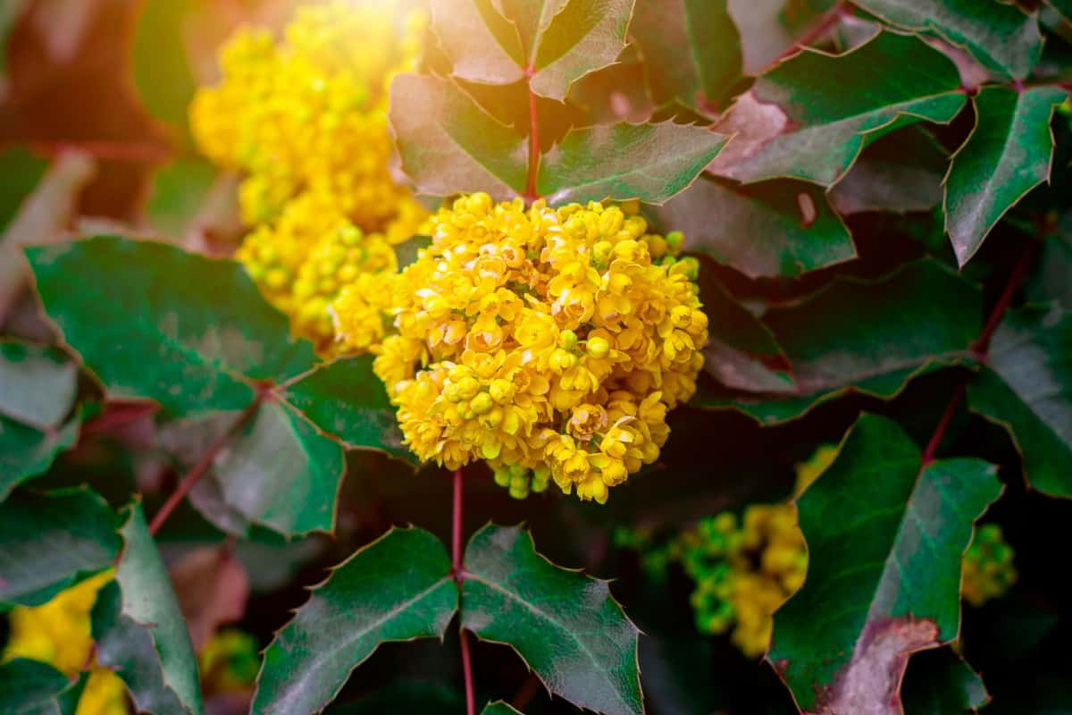 The Oregon grape is an evergreeen with edible fruit.