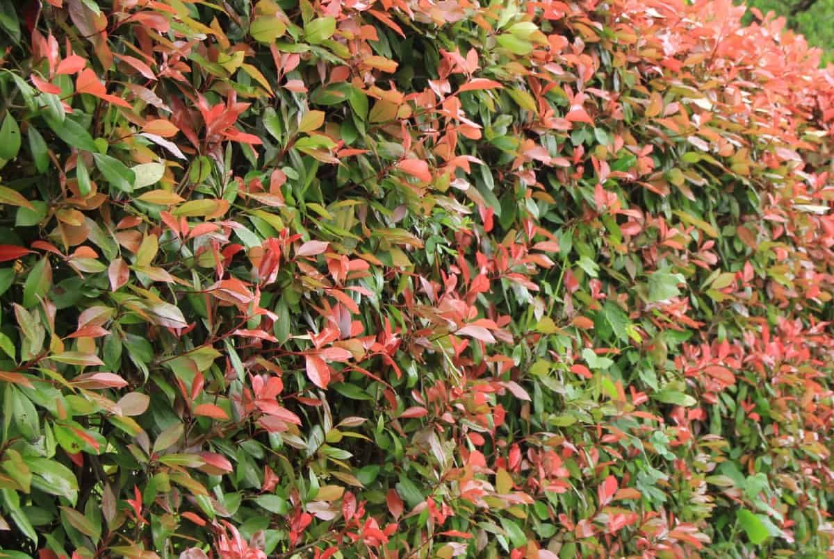 Photinias require diligent pruning.
