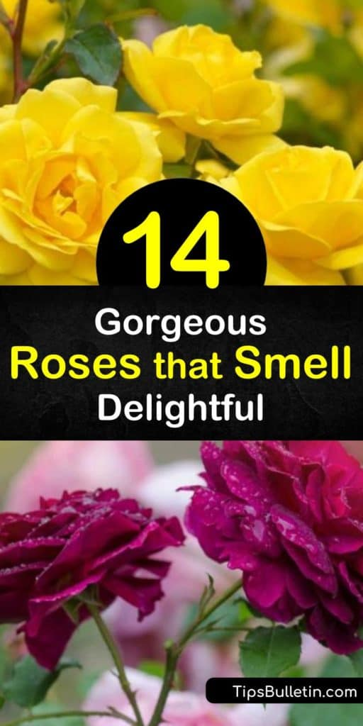 Discover how to fill your yard with a floral and sweet rose fragrance by planting the perfect roses. Grow David Austin roses such as the hybrid tea rose, Double Delight, or a floribunda rose, like Honey Perfume, and enjoy fragrant flowers all summer. #roses #fragrant #smell
