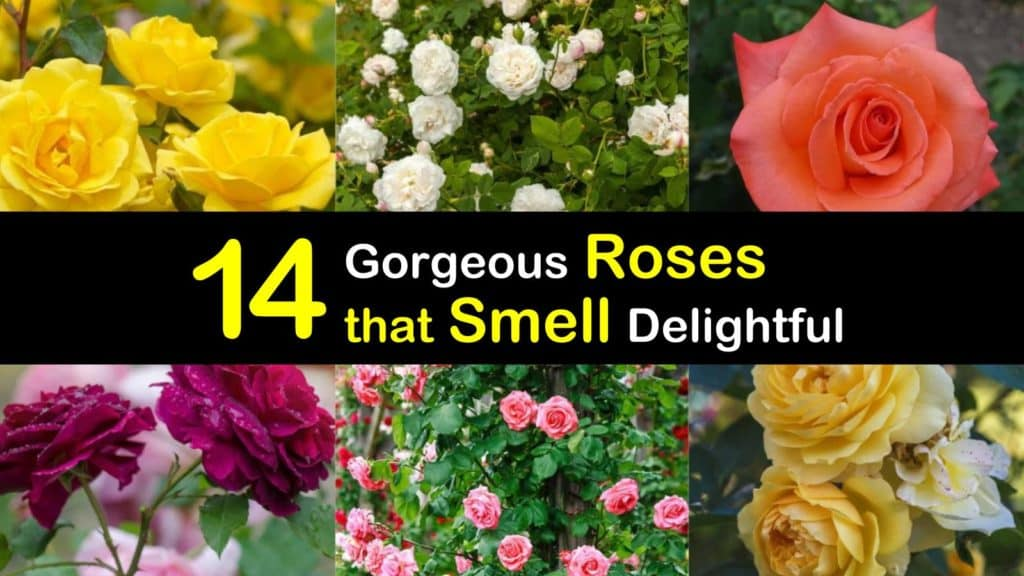 Roses that Smell titleimg1