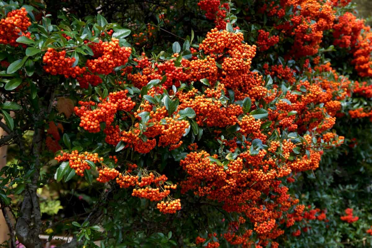 The scarlet firethorn really makes a statement in the yard.