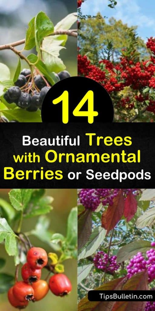 Learn about the many trees with ornamental berries to fill your yard with interest all year round. Plant hardy trees such as dogwood and crabapple and enjoy early spring white flowers, fall color, red fruits, and winter berries. #trees #ornamental #berries #seedpods
