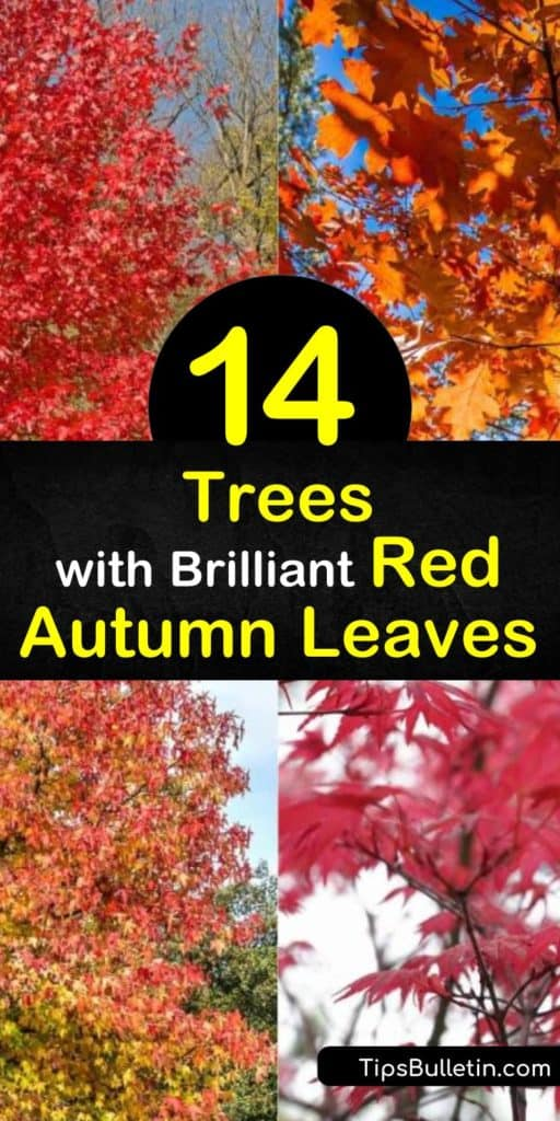 Find out the best trees that display red fall foliage. Maple trees, such as Acer palmatum and Acer rubrum, dominate when it comes to red leaves. If you're looking for a small tree, try the Cornus florida dogwood with its white flowers and scarlet or purple leaves. #trees #redleaves #fall #autumn