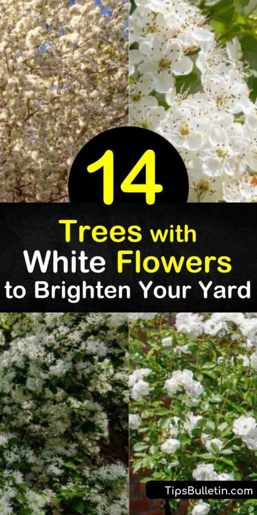 Discover white flowering trees that complement green leaves. The hardy serviceberry and Japanese snowbell have bell-like flowers, while the redbud bears pea-like blossoms and the dogwood single blooms. White flowering fruit trees include the crabapple and pear. #trees #floweringtrees #whiteflowers