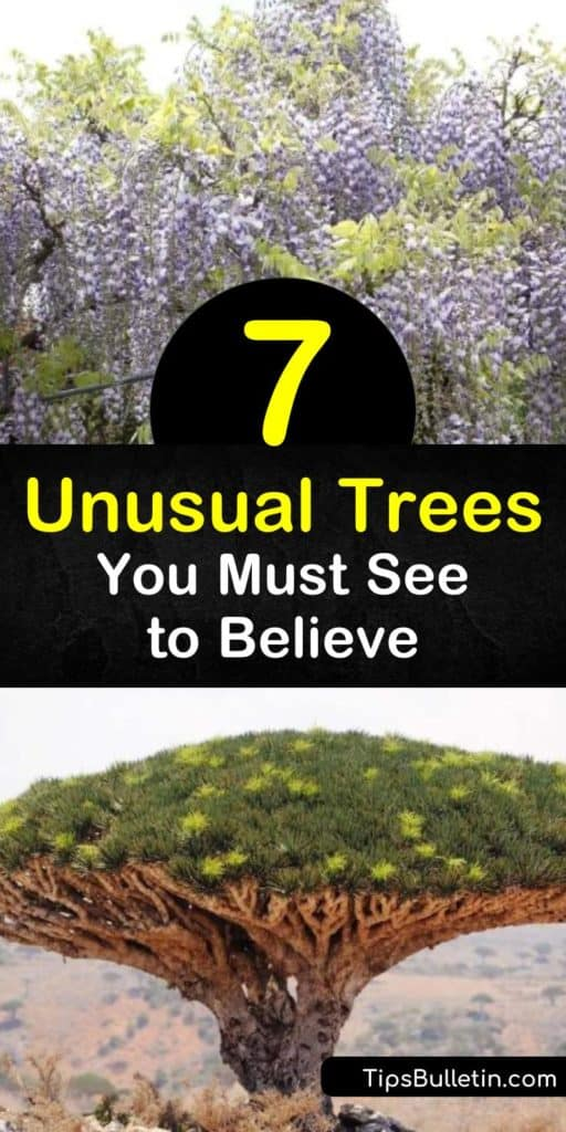 There are many unusual trees native to Yemen, South Africa, New Zealand, and other areas of the world that are perfect for creating a stunning landscape, such as Chinese wisteria, baobab, rainbow eucalyptus, and the Socotra dragon tree. #unusual #trees