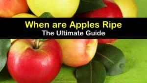 When are Apples Ripe titleimg1