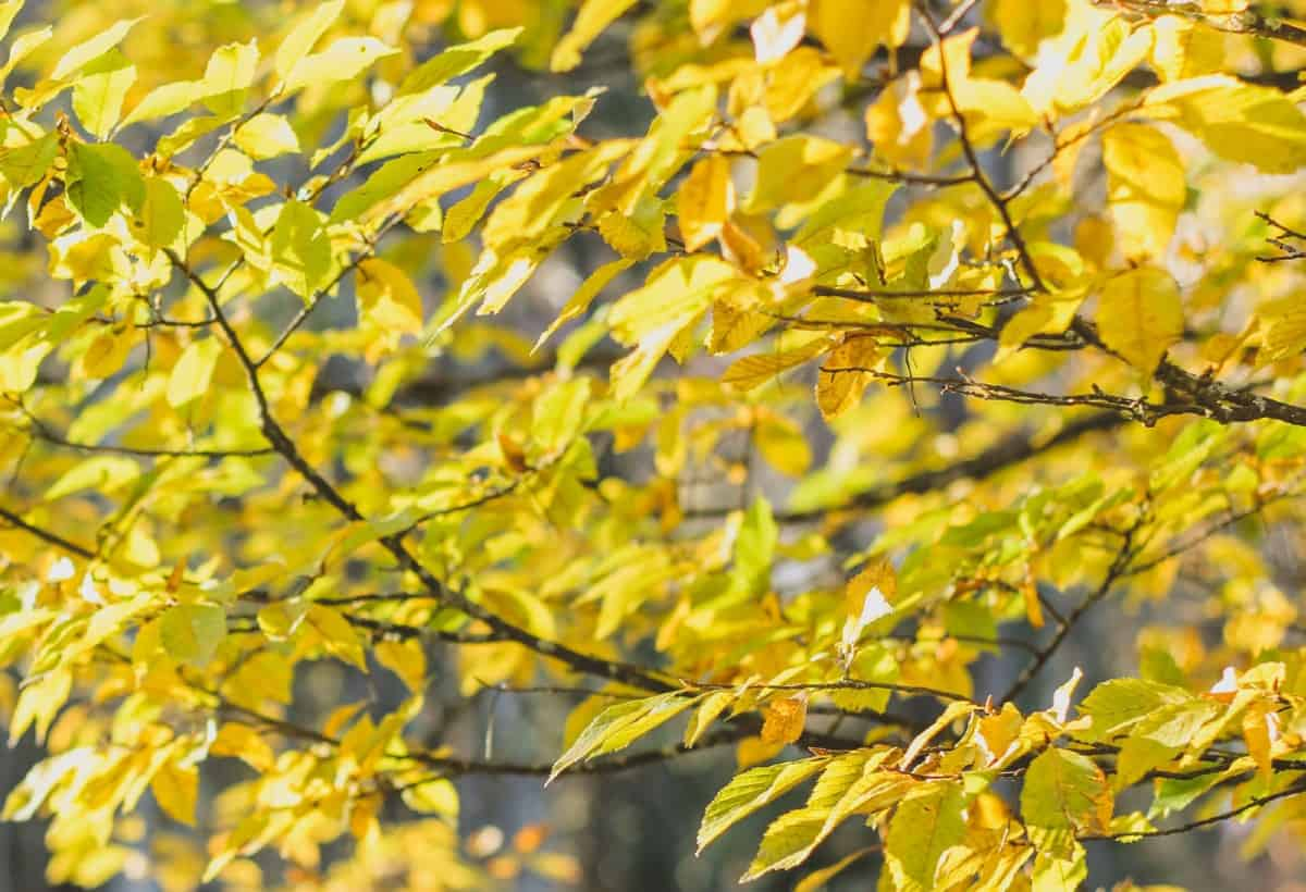 Beech trees are popular in the Western U.S.