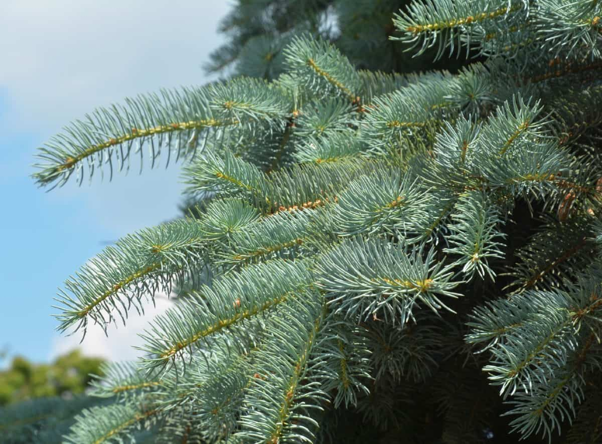 Blue spruce adds some color variety to a privacy hedge.