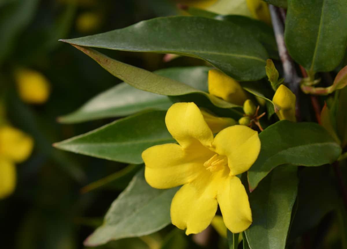 The yellow flowers of the Carolina jessamine prefer a lot of sun.