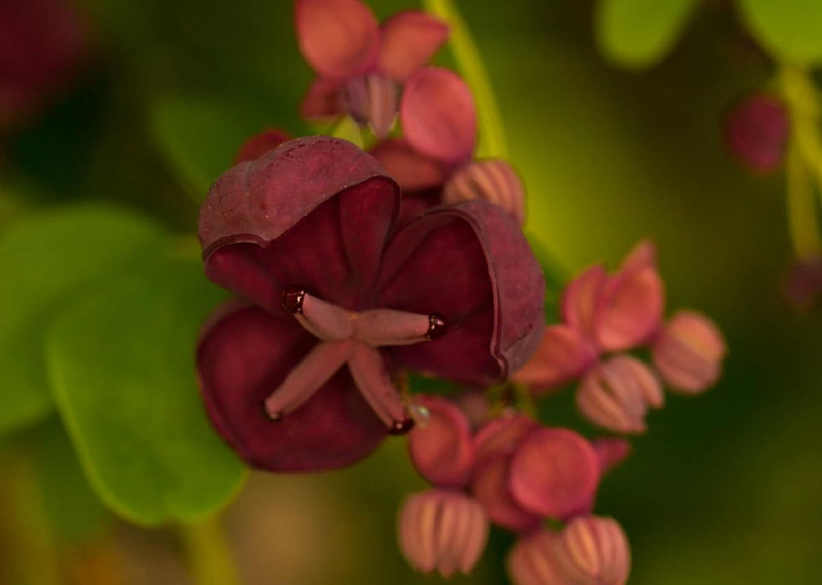The chocolate vine is a spring bloomer with a spicy scent.