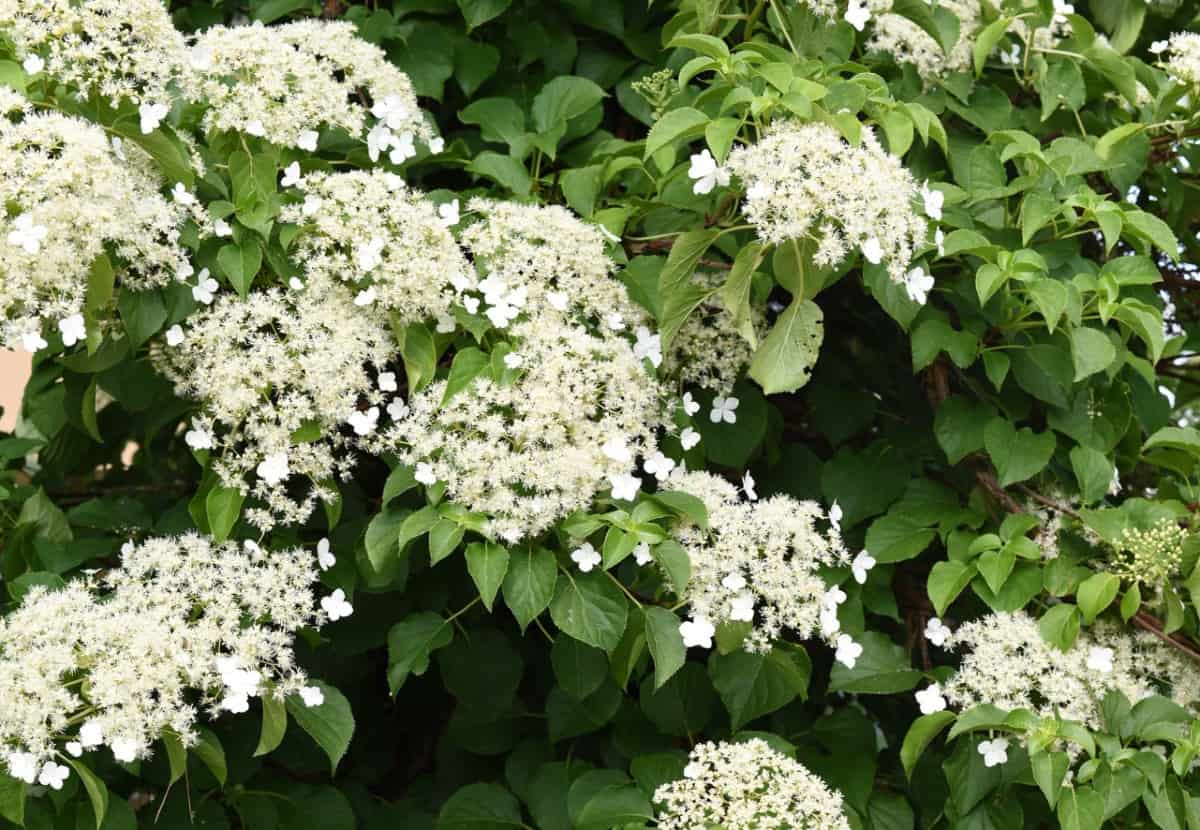 Climbing hydrangeas have large flower clusters.