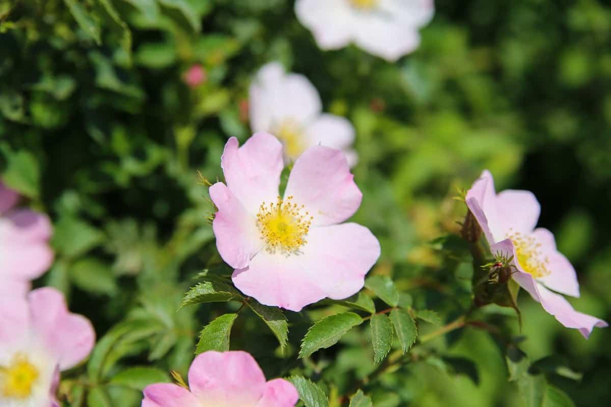 Climbing roses are vines that prefer full sun.