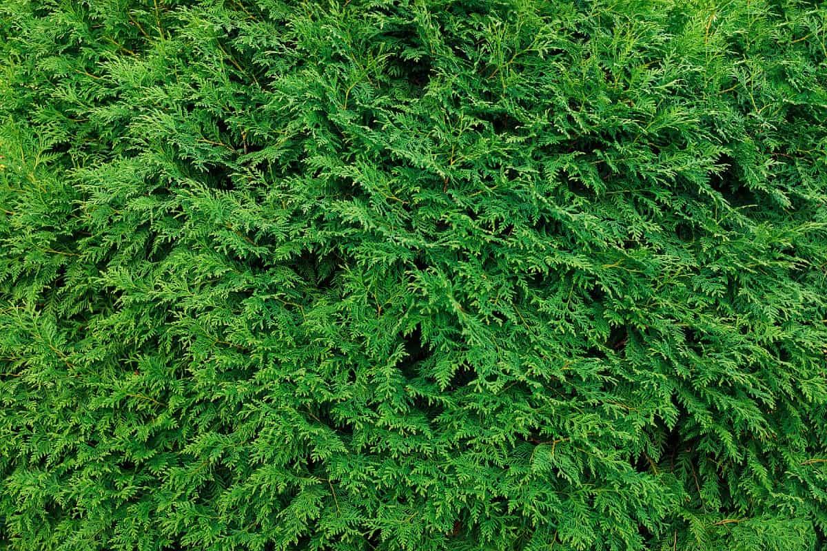 Pruning the emerald green arborvitae regularly keeps it healthy.