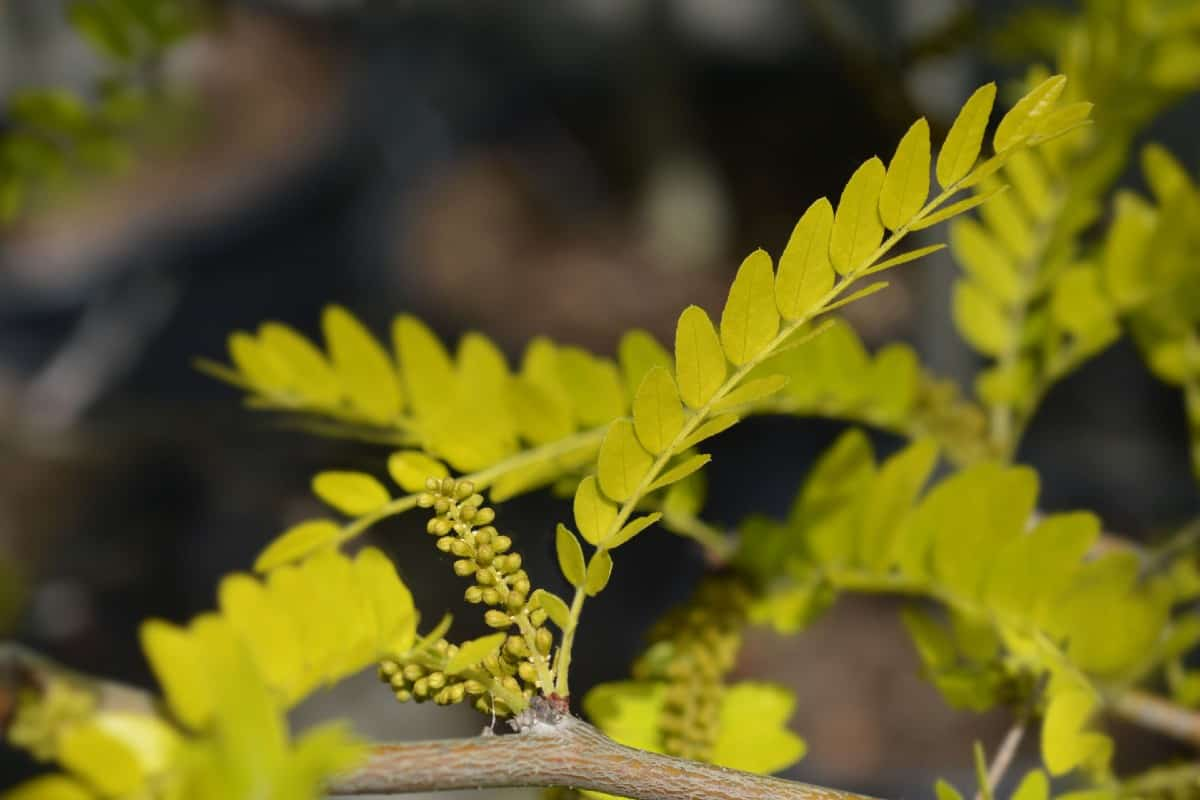 The honey locust is a beautiful but messy tree.