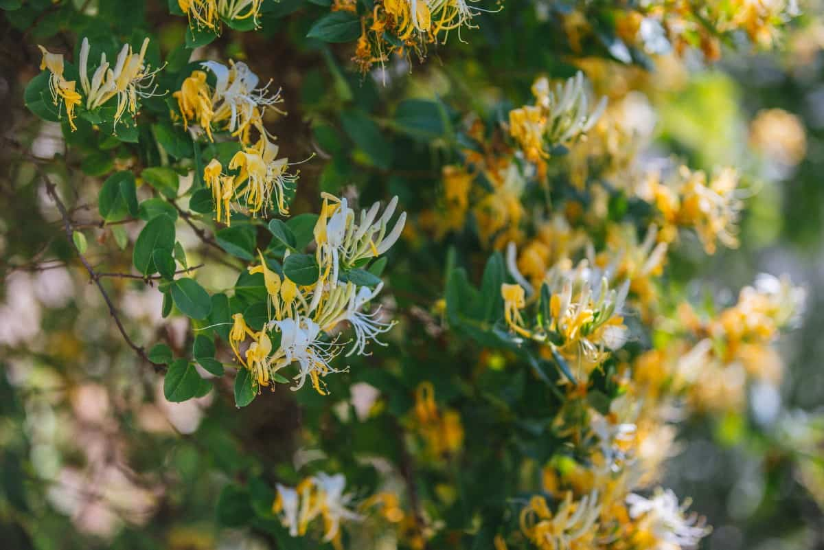 The honeysuckle vine smells like sweet pea flowers.