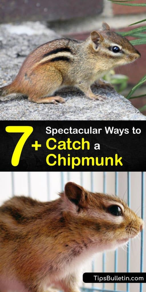 Stop allowing critters to ruin your home and empty your bird feeders when you can create your own live trap and repellents from scratch. Homeowners who read this article know how to get rid of chipmunks and keep them away without buying an expensive Havahart chipmunk trap. #howto #catch #chipmunk
