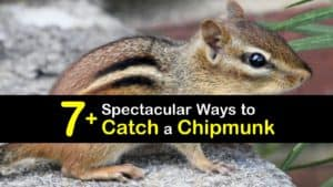 How to Catch a Chipmunk titleimg1