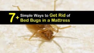 How to Get Rid of Bed Bugs in a Mattress titleimg1
