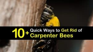 How to Get Rid of Carpenter Bees titleimg1