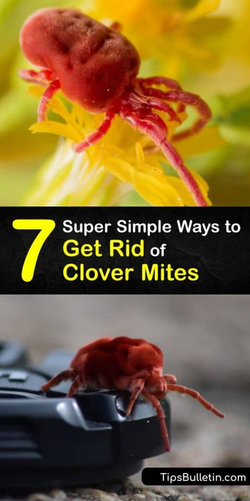 Keep window sills and crevices free of clover mites, arachnids, and other pests that come in large numbers and lay eggs around your home. Follow these recipes for a DIY insecticide and clover mite control that prevents clover mites from covering your house and lawn in red stain. #rid #clover #mites