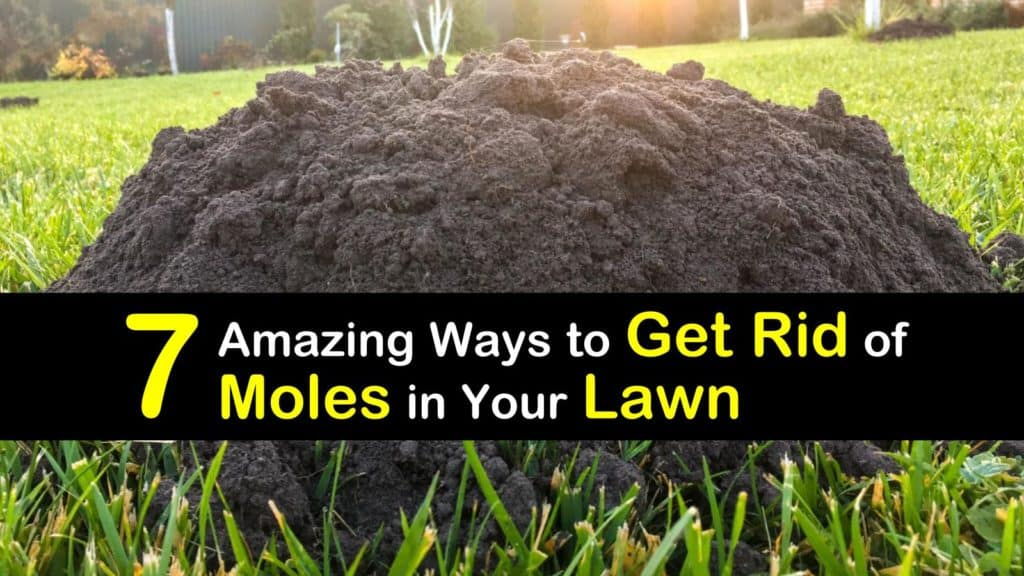 How to Get Rid of Moles in Your Lawn titleimg1