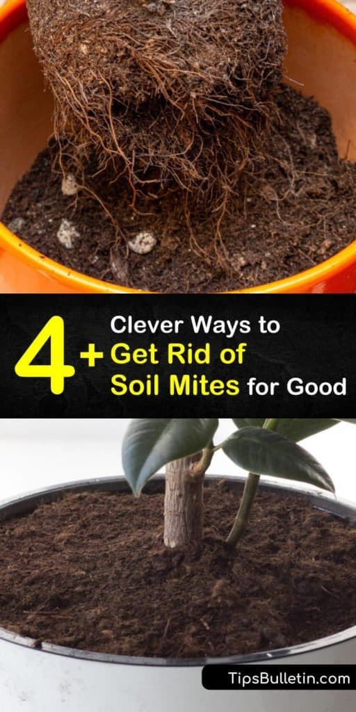 Discover how to get rid of soil mites in your garden and houseplants in a few easy steps. These insects and their larvae live in organic matter and decaying matter and it's important to refresh potting soil to eliminate them. #howto #getridof #soil #mites