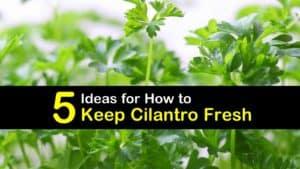 How to Keep Cilantro Fresh titleimg1