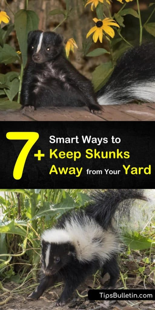Discover how to keep skunks out of your yard to prevent calling for skunk removal services. These critters hate bright lights, sprinklers, and loud noises, and predator urine is a great skunk repellent. #keeping #skunks #yard #away #repellent