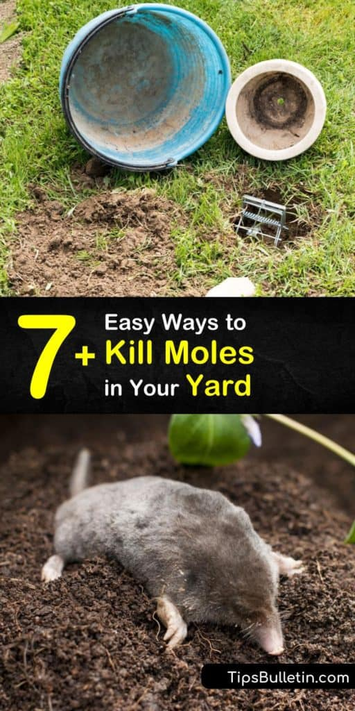 Discover how to get rid of moles and voles using Castor oil and ways to destroy their food source. The insectivores dig mole tunnels. Tunneling creates havoc on a homeowner's grass. #howto #kill #moles #trap