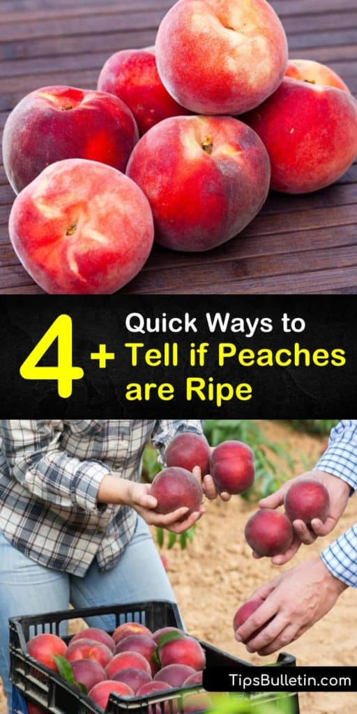 Discover how to choose the perfect peach, whether you pick peaches from a tree or buy them at the farmers market, how to speed up the ripening process of a crunchy peach, and ways to store them to prevent them from getting mushy and mealy. #peaches #ripe #when