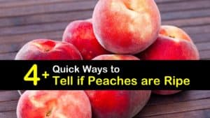 How to Tell if Peaches are Ripe titleimg1