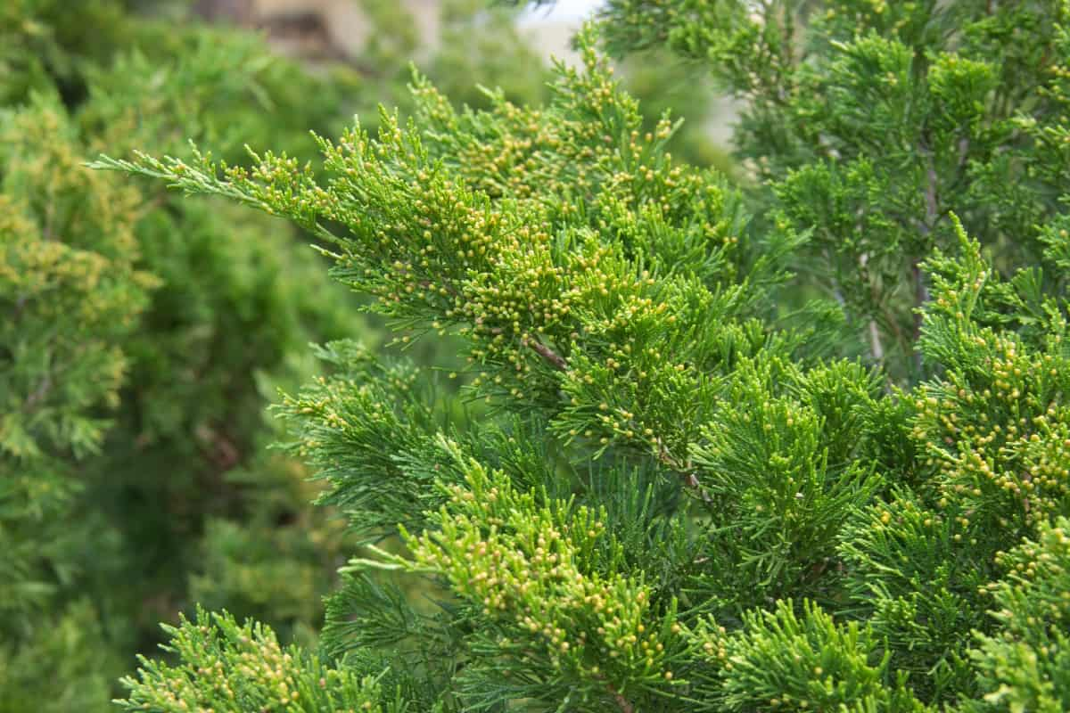 The Italian cypress is a heat-loving evergreen.