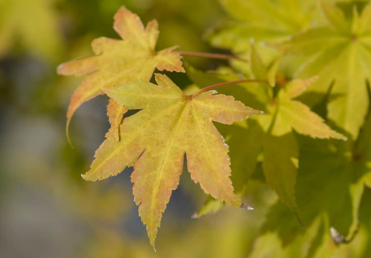 Japanese maples are known for their lacy leaves.