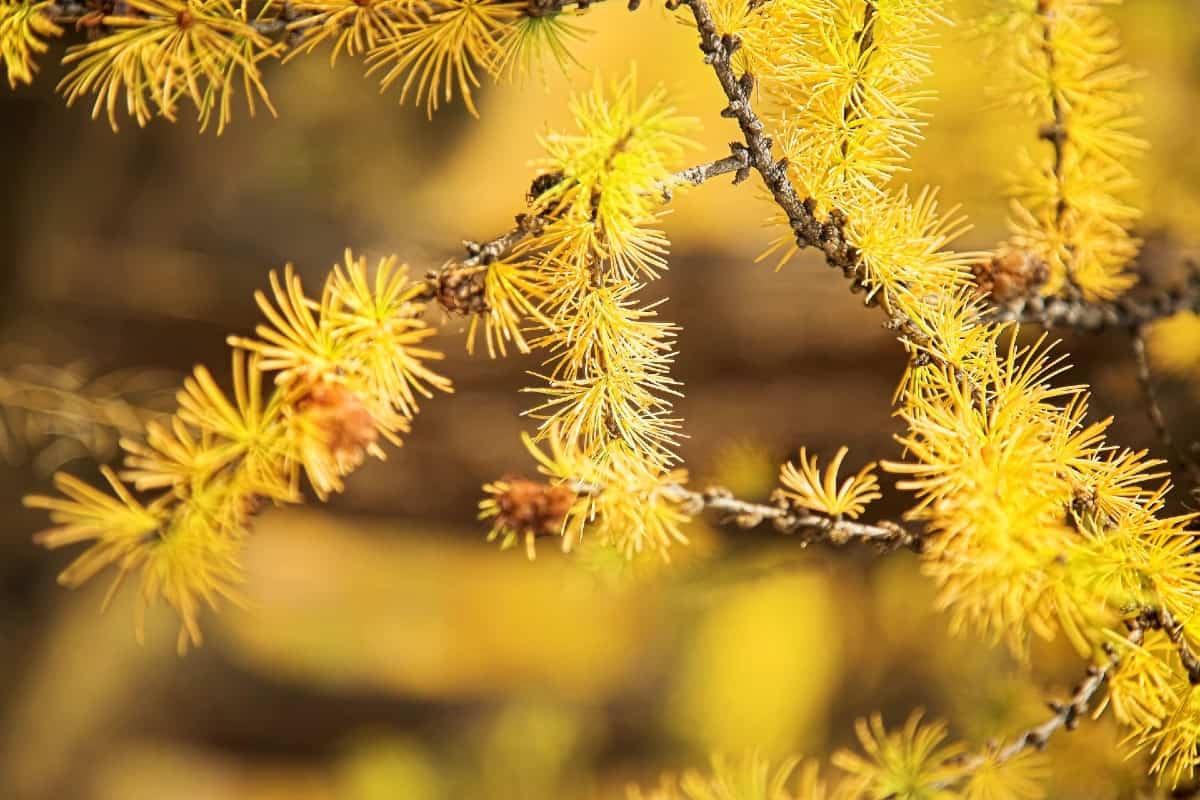 Larches are conifers that can grow to 120 feet tall.