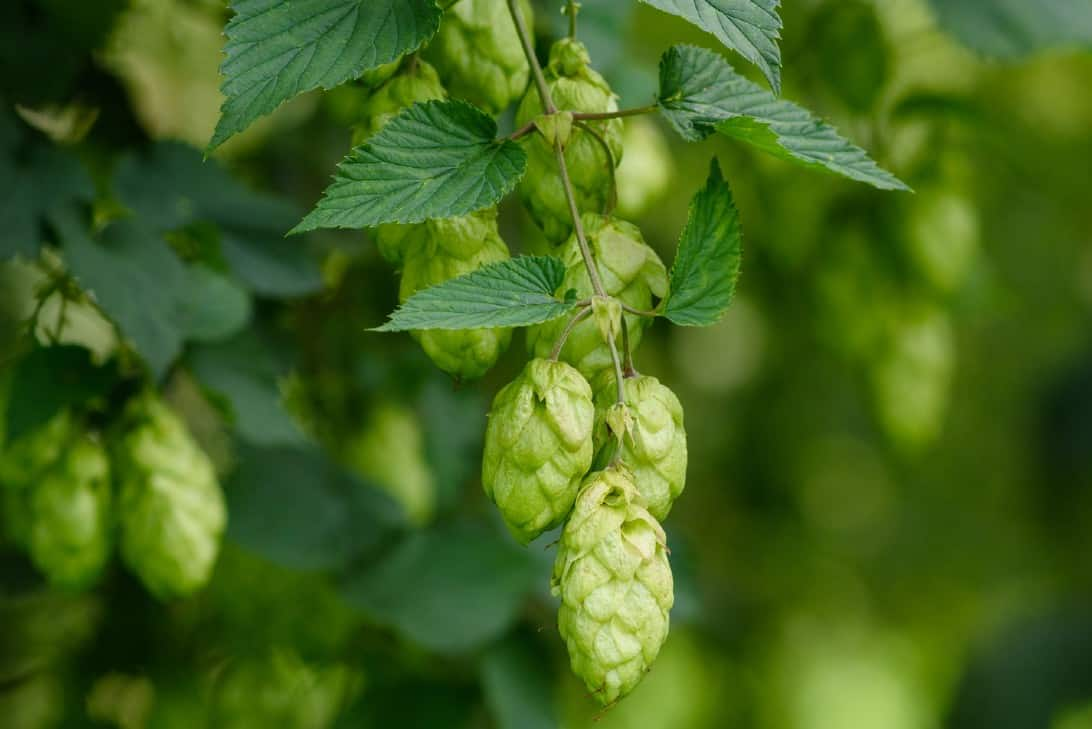 The ornamental hop vine is best known for its fruit used to make beer.