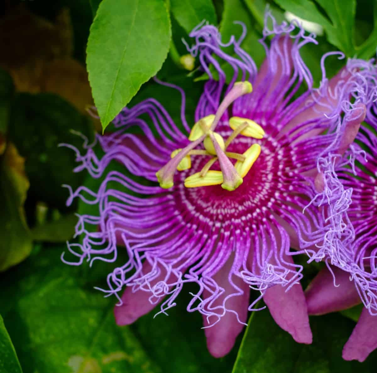 The passionflower is an unusual tropical vine.